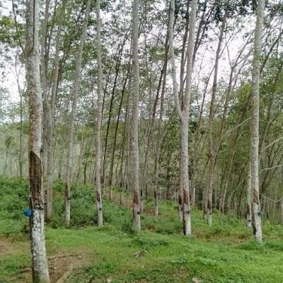 Kebun Karet Desa Tibona