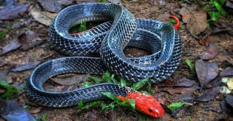 Kızıl başlı krait yılanı 2,1 metreye kadar uzayabilir, başı ve kuyruğu kızıl renktedir.