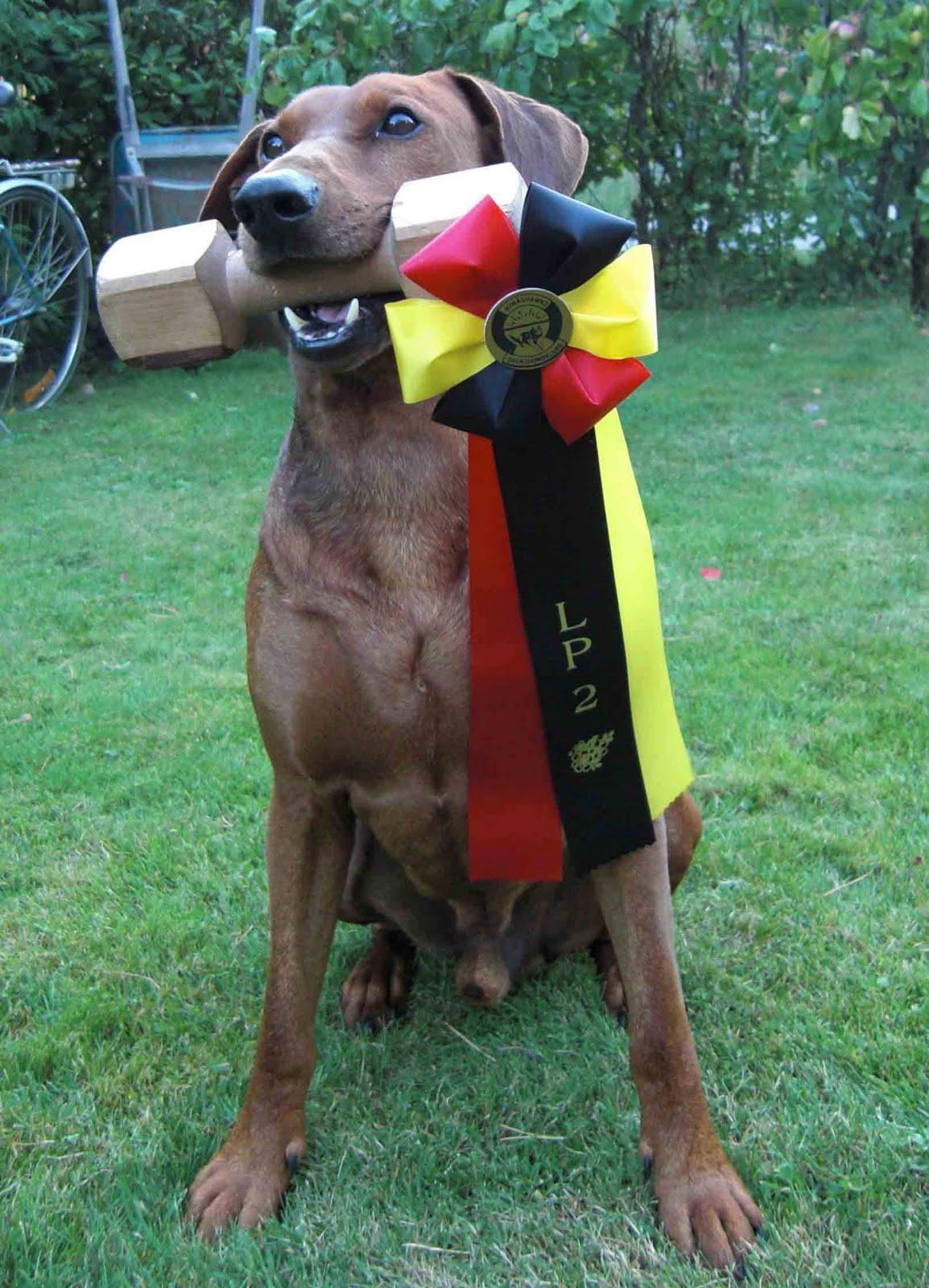 Rivendells Pinscher: Årets brukshund SSPK Rivendells Alpha!