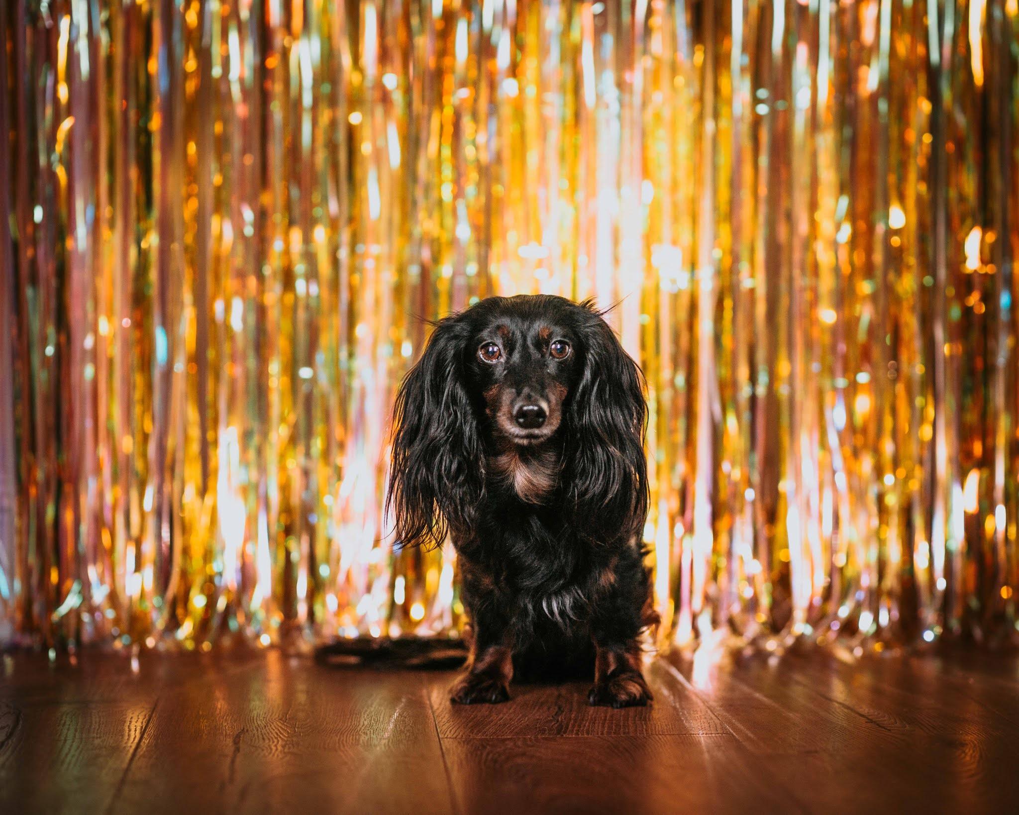 hetty dachshund 6th birthday disco liquid grain