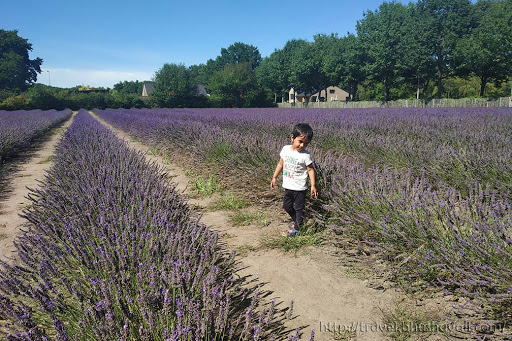 Limburg Lavendel Hasselt