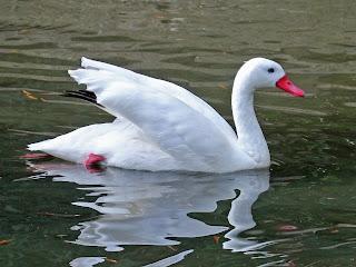 Essay on Swan in Hindi