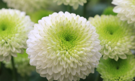 So far it has been many inwards the detect herbs that convey high benefits for wellness Benefits of Chrysanthemum Flower