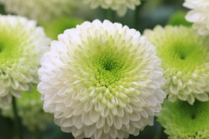 Benefits of Chrysanthemum Flower