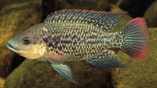 Jenis Ikan Tilapia