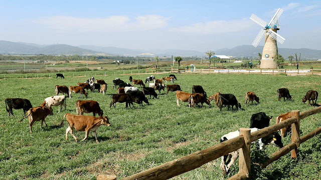 """Nhìn trang trại từ trên cao cho ta cảm giác như đứng trên một thảo nguyên mênh mông. Cánh quạt cối xay gió chầm chậm xoay giữa không trung, bên dưới là đàn bò đang thong thả quay về chuồng. Ngôi nhà biệt thự xanh đậm chất """"tây"""", nơi rất nhiều bức ảnh sống """"ảo"""" ra đời. Toàn bộ khung cảnh ngỡ như chỉ có thể ngắm nhìn tại những trang trại Hà Lan nổi tiếng nay thật sự hiện diện ở Việt Nam."""