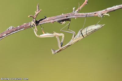 Pregadeu o plegamans (Mantis religiosa)
