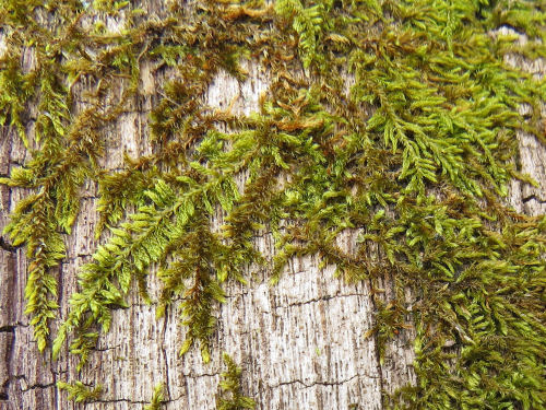 Common Fern Moss