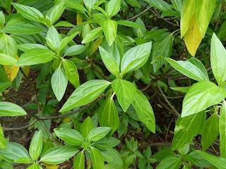 Bois de tension - Bois de fièvre - Pouzolzia laevigata