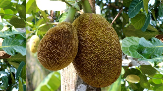 Treculia Africana or African breadfruit grows throughout Tropical Africa.