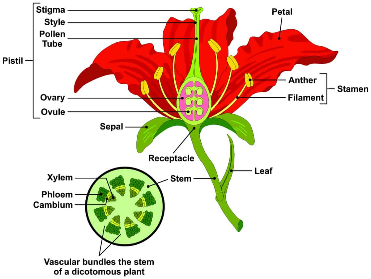 Parts Of A Flower And Its Functions In Hindi And English एक फ ल और उसक क र य क भ ग Flowers And Its Parts Images