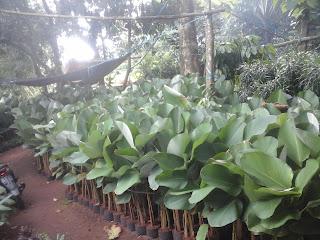 Harga Tanaman Hias calatea untuk proyek  Harga Tanaman Hias Calatea untuk Proyek Taman