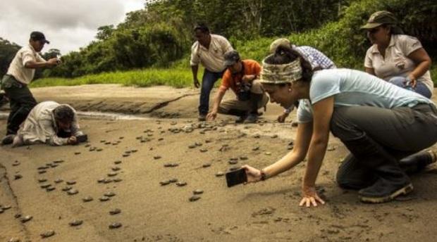 Conoce cómo el rescate de la taricaya ayuda a conservar la Reserva Pacaya Samiria