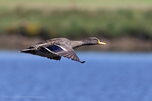 Yellow-Billed Duck in Flight: Canon Camera System Change - From DSLR to Mirrorless