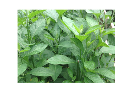 The uses of BITTER LEAVES in poultry farm as immunity booster and