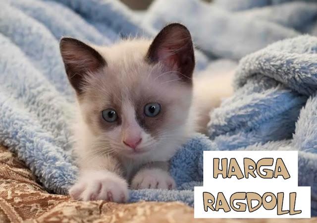 Jual Kucing Ragdoll