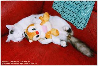 gambar seekor kucing putih jantan tidur sambil memeluk seekor tupai di atas sebuah sofa berwarna merah pada waktu siang.