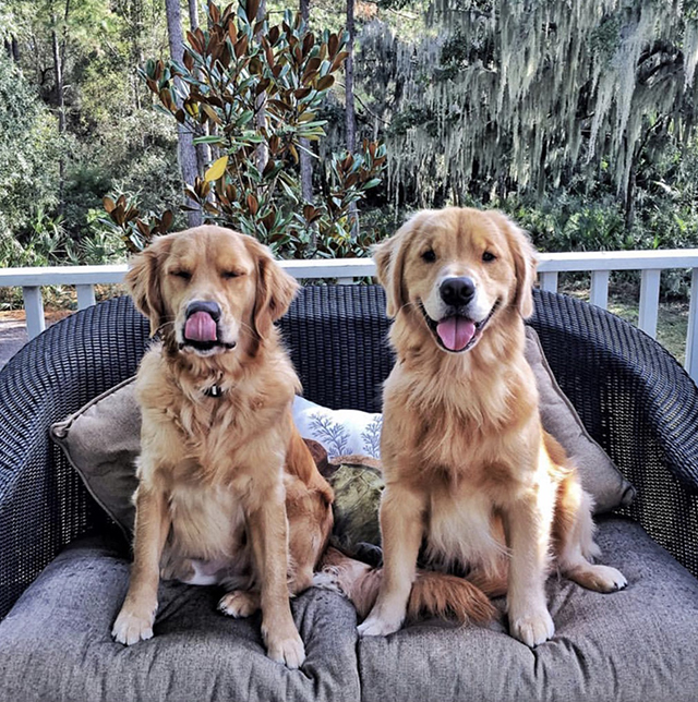Golden Retrievers Sofa