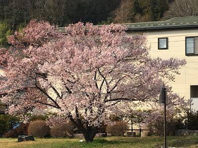 高遠駅の桜