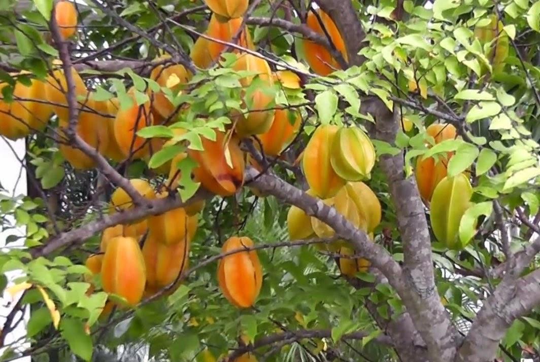 CARA MENANAM / BUDIDAYA BELIMBING   Pertanian