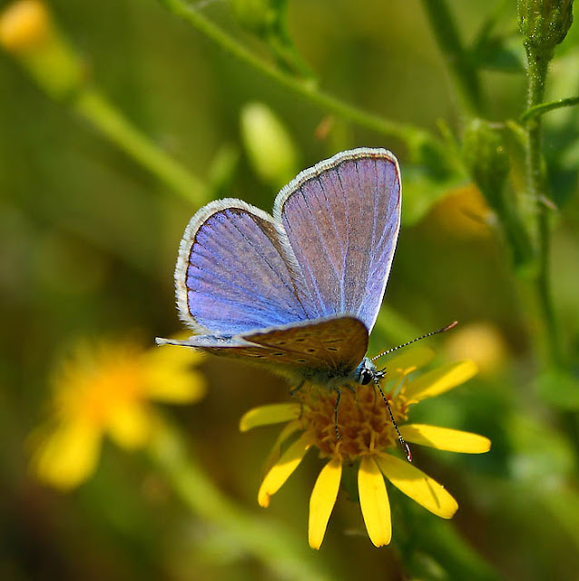 Common Blue (Polyommatus icarus) male on a yellow flower