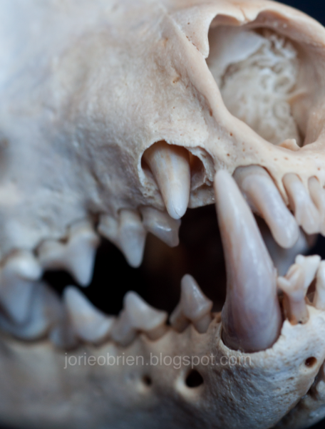 Fisher Cat Teeth : fisher, teeth, Useless, Creatures:, Collection:, Fisher, Identification