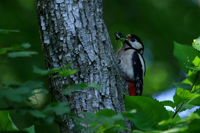 Great spotted woodpecker, dendrocopus major, female