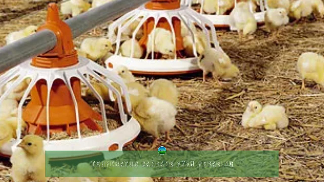 Temperatur Kandang Ayam Pedaging