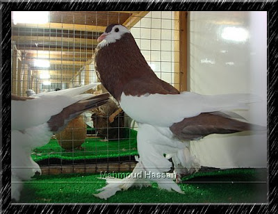 Pigeons for sale: ReverseWing pouter pigeon Red Color 2