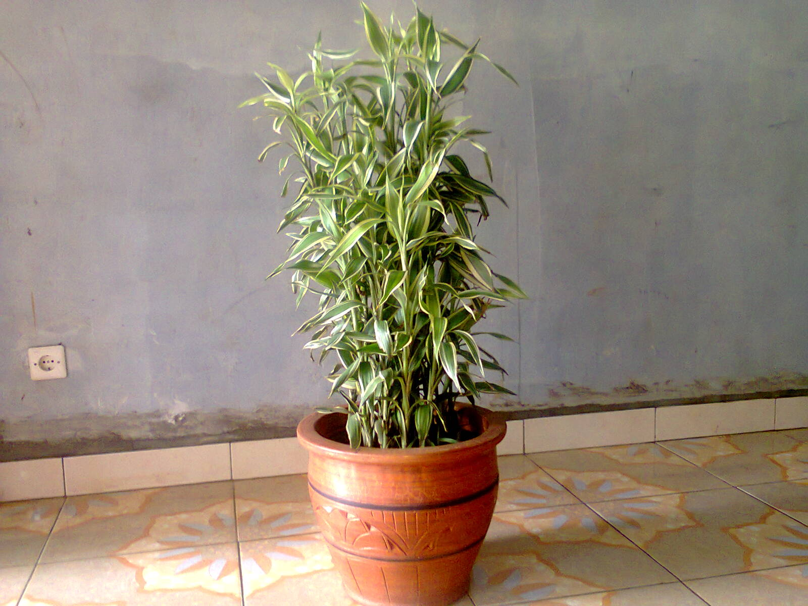 sewa tanaman bambu sri rejeki belang