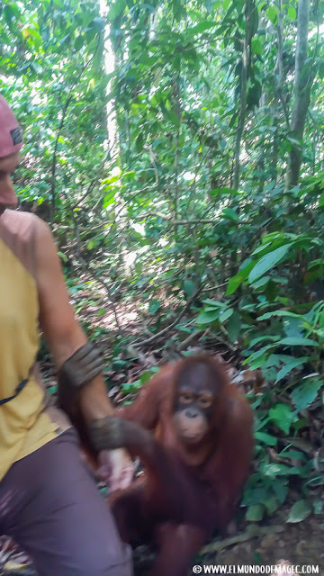 ver-orangutanes-en-borneo-sepilok-ven-conmigo-vamos-a-jugar