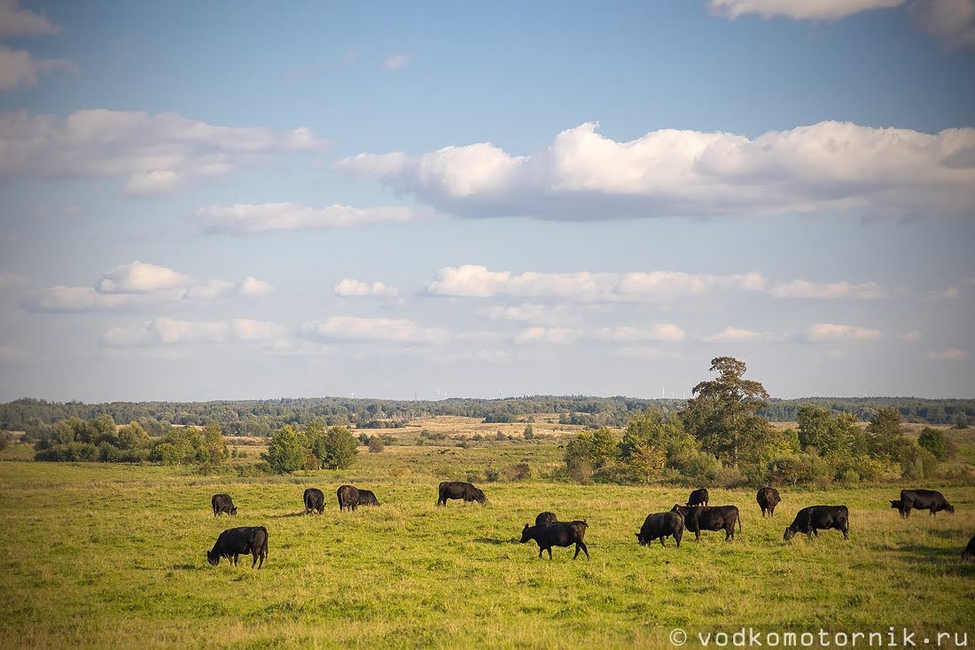 Дикие Мираторговские коровы мясной породы Абердин-Ангус
