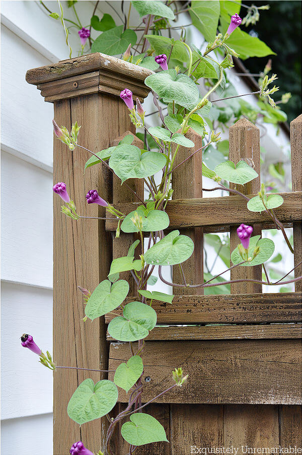 Morning Glory Vines Growing On A Gate