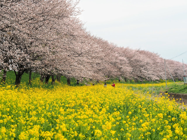 吉見さくら堤 桜 菜の花