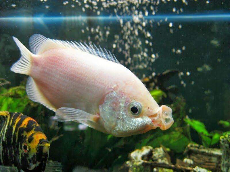 klasifikasi ikan tambakan Helostoma Temmincki