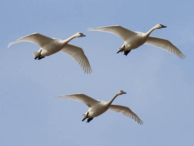 Photo of 3 Tundra Swans coming in for a landing