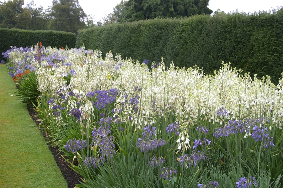 Galtonia Candicans And Agapanthus At The Savill Garden