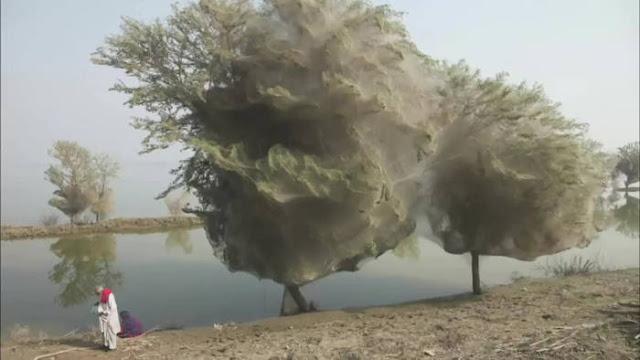 Spiderweb Cocooned Trees di Pakistan