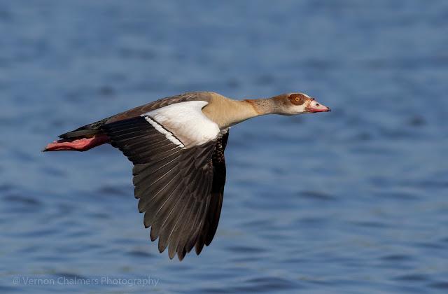 Egyptian goose in flight Woodbridge Island, Milnerton