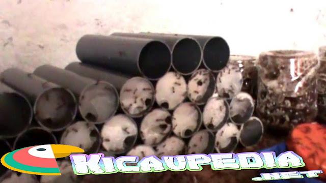 www.kicaupedia.net