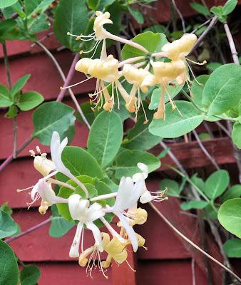 Tuoksuköynnöskuusaman kukat on keveät ja pitkulaiset