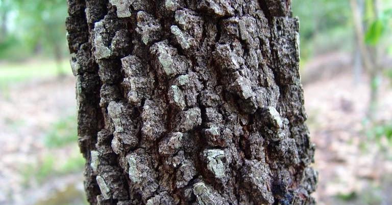 Blackjack oak tree leaves