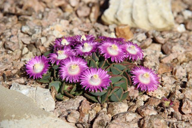 Living Stone Plants