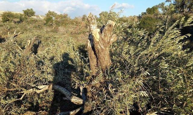Τούρκοι μισθοφόροι ξερίζωσαν χιλιάδες ελαιόδεντρα στην Aφρίν!