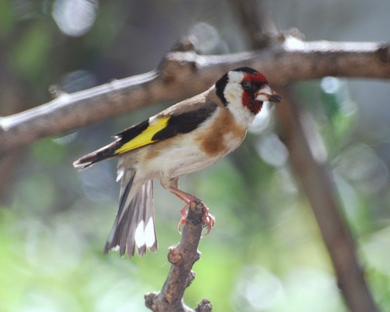 طائر الحسون, هجين الحسون  ,طريقة الحصول على الهجين  ,تزاوج الحسون و الكناري  ,طريقة التهجين  , انثى الكناري