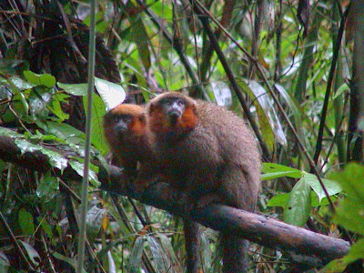 red bellied titi monkey