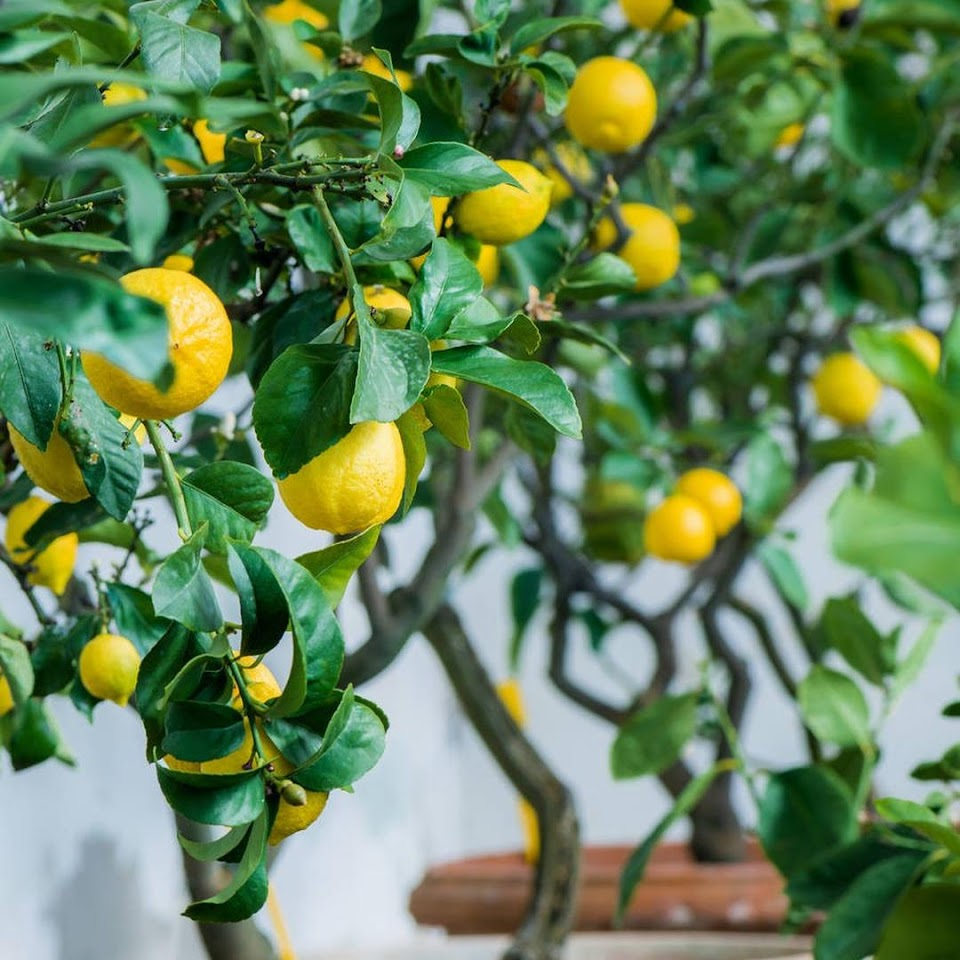 Amefurashi Bibit Benih Seed Buah Jeruk Lemon Import Maluku Utara