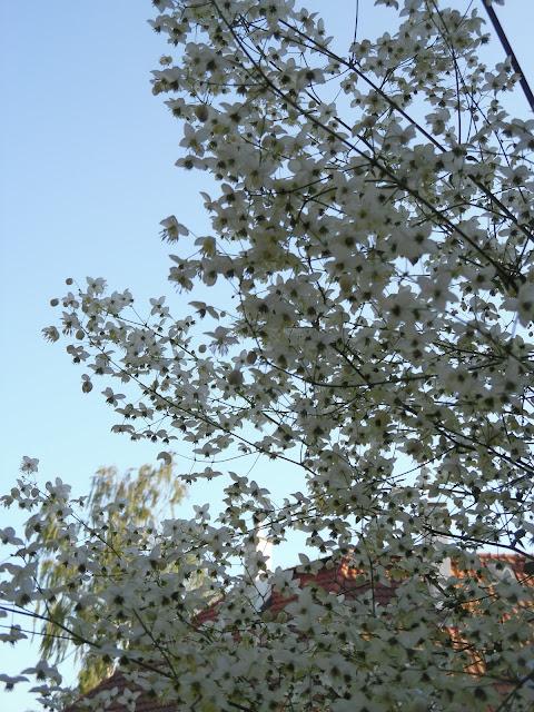 kwiatostan rutewki
