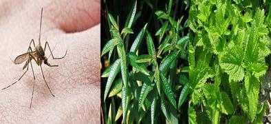 Τέλος χημικά και «φιδάκια» - Αυτά είναι τα 9 φυτά που απωθούν τα κουνούπια (ΦΩΤΟ)
