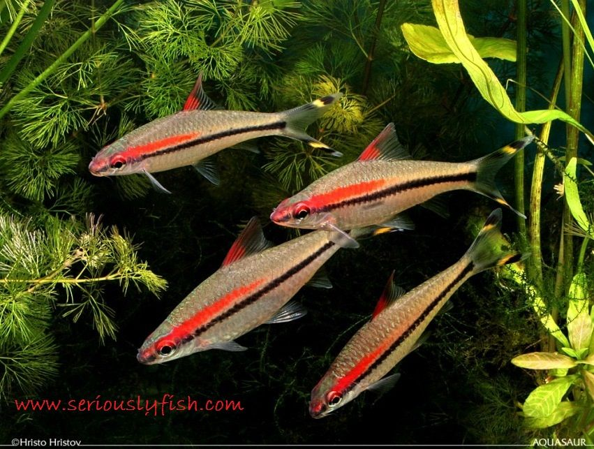 Gambar dan Foto Mari Lihat Profil Dan Cara Merawat Ikan Hias Red Line Torpedo Barb